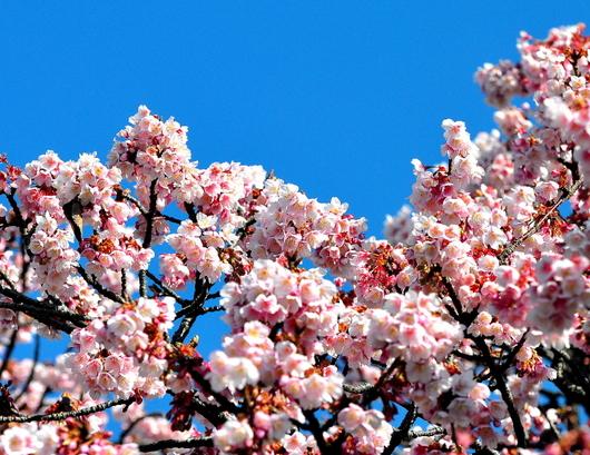 1-19.02.06 寒緋桜-2.jpg