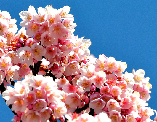 1-19.02.06 寒緋桜-4.jpg