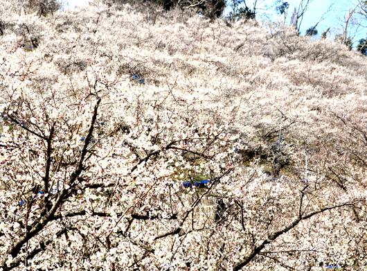 1-19.02.21 みなべ梅林-2.jpg
