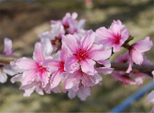 1-19.03.05 ハウス栽培の桃の花-1.jpg