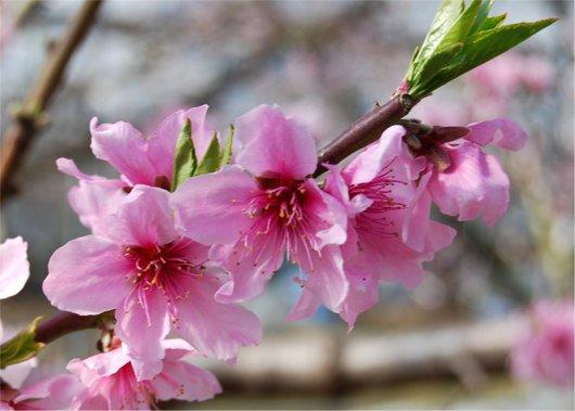 1-19.03.05 ハウス栽培の桃の花-2.jpg
