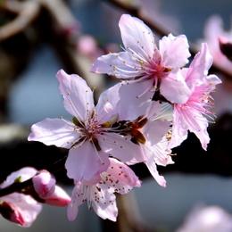 1-19.03.05 ハウス栽培の桃の花-3.jpg