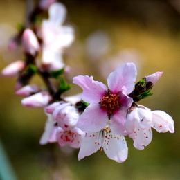1-19.03.05 ハウス栽培の桃の花-4.jpg