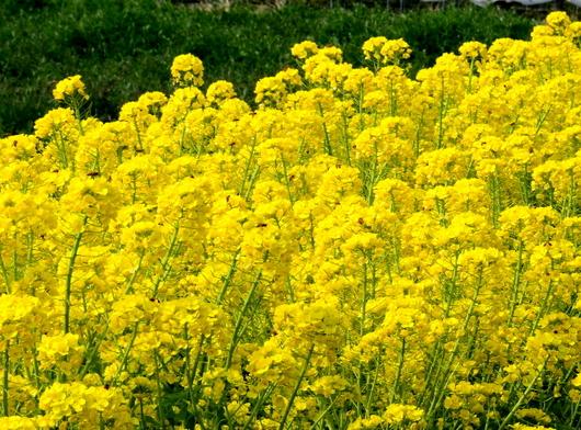 1-19.03.05 山東の菜の花-1.jpg