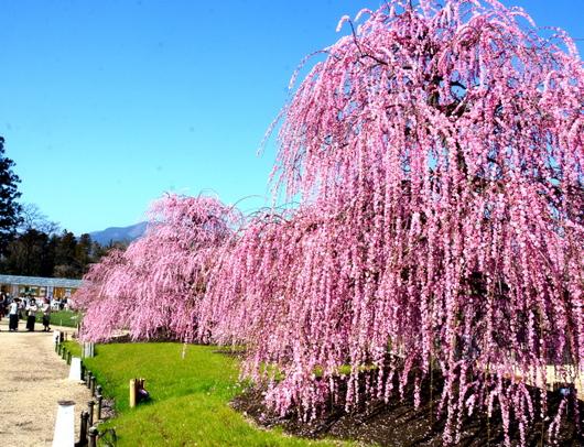 1-19.03.08 鈴鹿の森庭園の枝垂梅-10.jpg