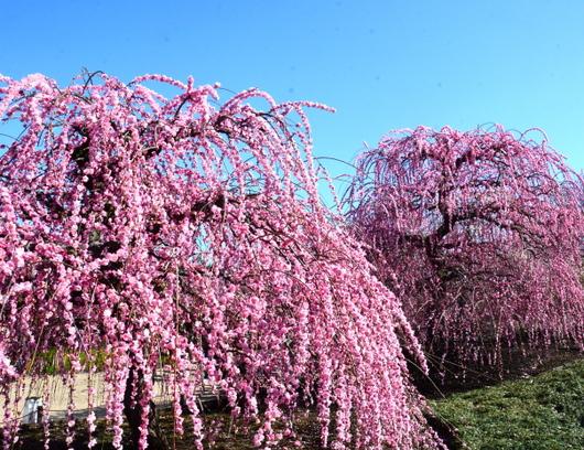1-19.03.08 鈴鹿の森庭園の枝垂梅-11.jpg