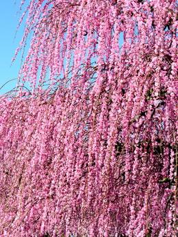1-19.03.08 鈴鹿の森庭園の枝垂梅-12.jpg