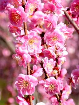 1-19.03.08 鈴鹿の森庭園の枝垂梅-13.jpg