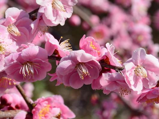 1-19.03.08 鈴鹿の森庭園の枝垂梅-14.jpg