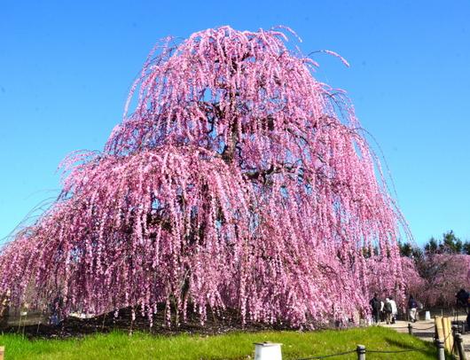 1-19.03.08 鈴鹿の森庭園の枝垂梅-15.jpg