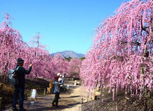 1-19.03.08 鈴鹿の森庭園の枝垂梅-3.jpg