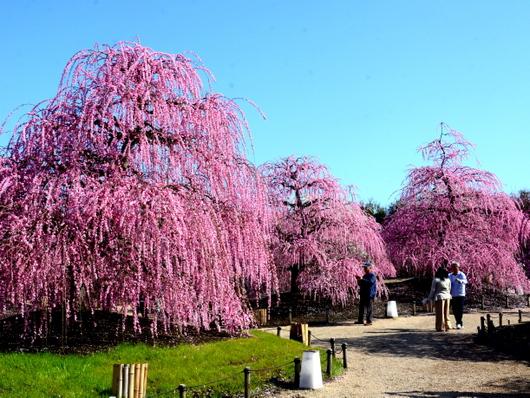 1-19.03.08 鈴鹿の森庭園の枝垂梅-5.jpg