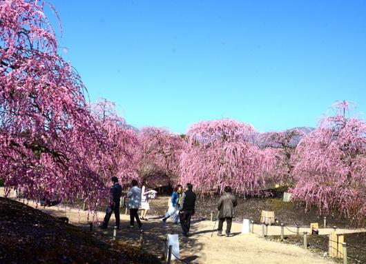 1-19.03.08 鈴鹿の森庭園の枝垂梅-7.jpg