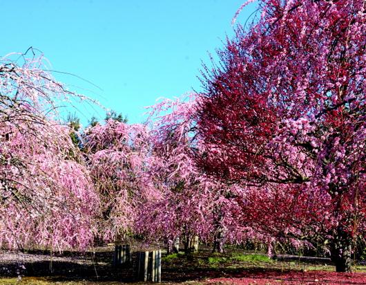 1-19.03.08 鈴鹿の森庭園の枝垂梅-8.jpg