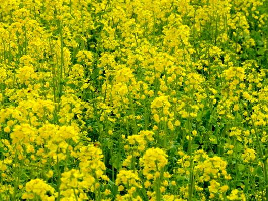 1-19.03.23 後田の菜の花.jpg