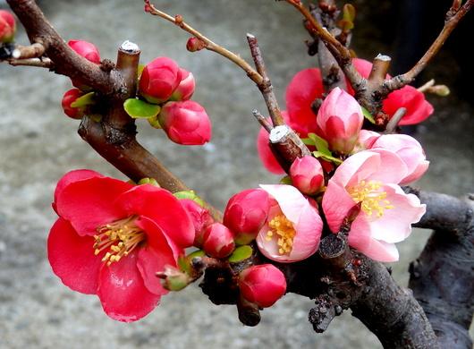 1-19.03.23 自宅の木瓜.jpg
