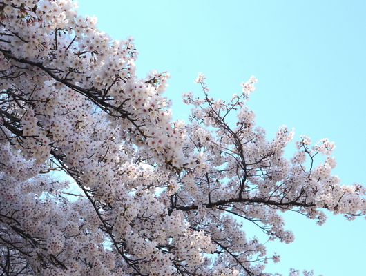 1-19.04.04 和歌山城公園の桜-5.jpg