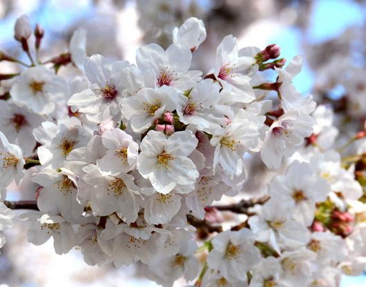 1-19.04.04 和歌山城公園の桜-8.jpg