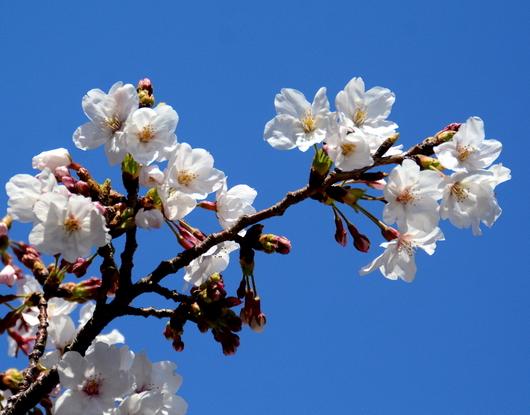 1-19.04.04 和歌山城公園の桜-9.jpg