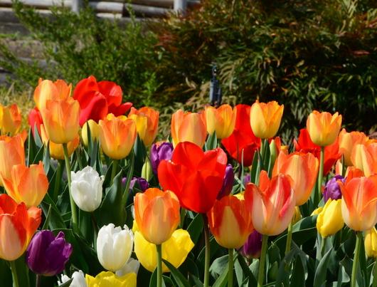 1-19.04.10 緑化センタ-花壇-2.jpg