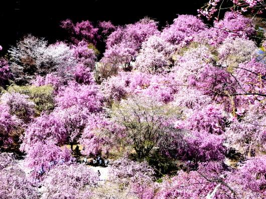 1-19.04.25 高見の郷枝垂桜-10.jpg