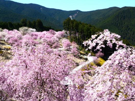 1-19.04.25 高見の郷枝垂桜-2.jpg