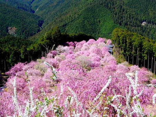 1-19.04.25 高見の郷枝垂桜-4.jpg