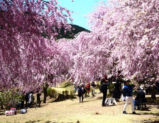 1-19.04.25 高見の郷枝垂桜-6.jpg