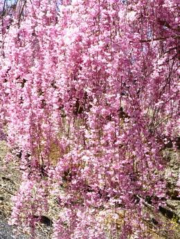 1-19.04.25 高見の郷枝垂桜-8.jpg