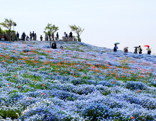 1-19.04.28 舞洲ネモフィラ-6.jpg