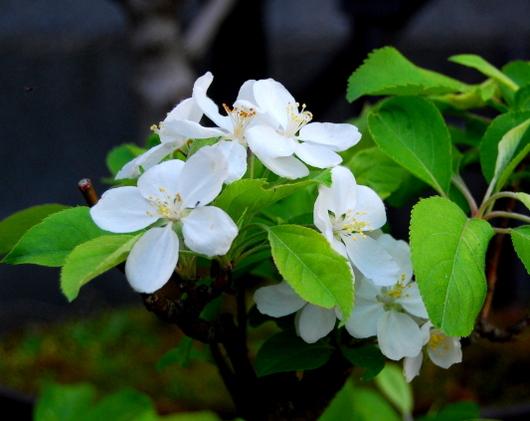 1-19.05.01 ヒメリンゴの花.jpg