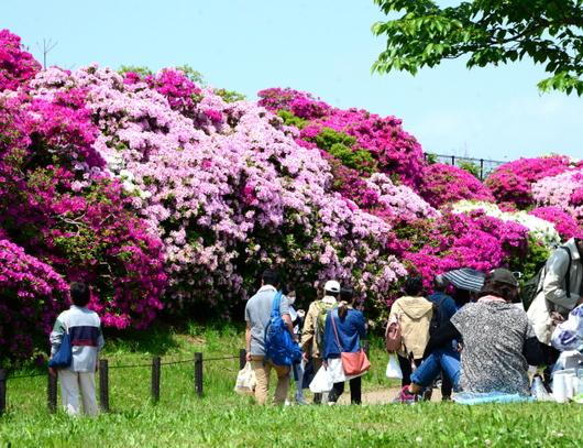 1-19.05.04 浅香山緑道のつつじ-10.jpg
