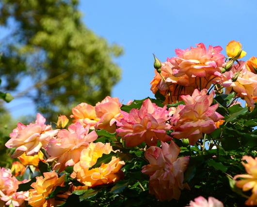 1-19.05.16 港緑地のバラ-1.jpg