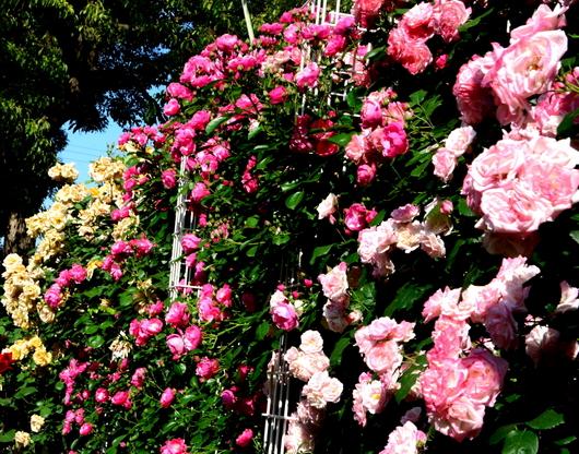 1-19.05.16 港緑地のバラ-3.jpg