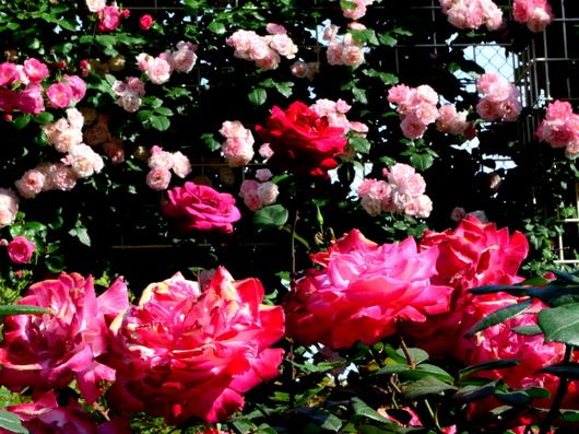 1-19.05.16 港緑地のバラ-6.jpg