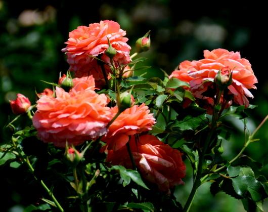 1-19.06.03 四季の郷のバラ-1.jpg