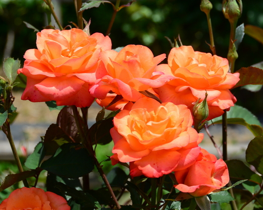 1-19.06.03 四季の郷のバラ-4.jpg