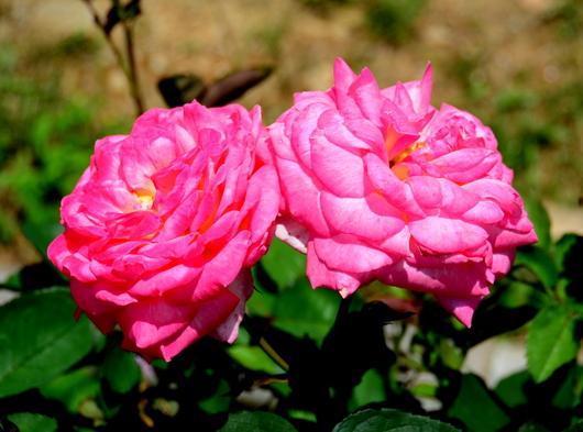 1-19.06.03 四季の郷のバラ-5.jpg
