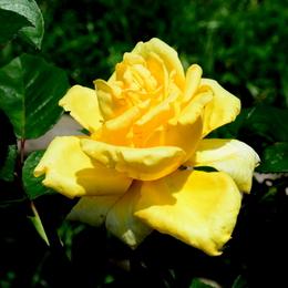 1-19.06.03 四季の郷のバラ-6.jpg