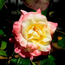 1-19.06.03 四季の郷のバラ-9.jpg