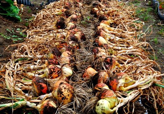 1-19.06.09 玉葱収穫-1.jpg