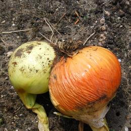 1-19.06.09 玉葱収穫-2.jpg