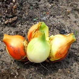 1-19.06.09 玉葱収穫-3.jpg