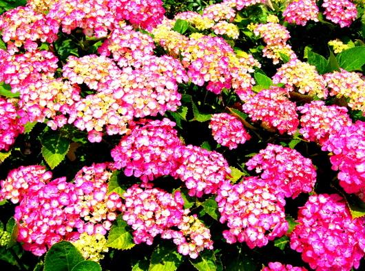 1-19.06.09 菜園の紫陽花.jpg